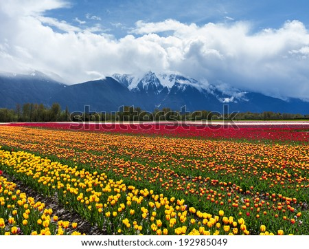 Spring Landscape, Tulip Flower Field in Agassiz BC Canada   - stock photo