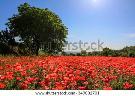 Spring landscape; walnut tree in field of poppies. BASILICATA  (ITALY).Rural scene of Palazzo San Gervaso (Potenza). - stock photo