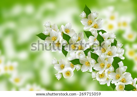 Spring landscape with delicate jasmine flowers - stock photo