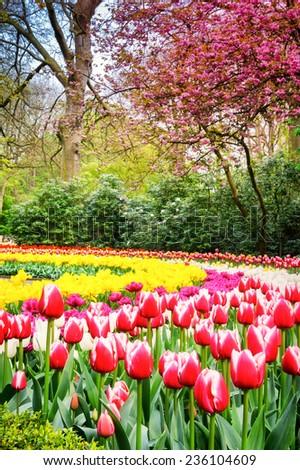 Spring landscape with multicolor tulips. Keukenhof garden, Netherlands - stock photo