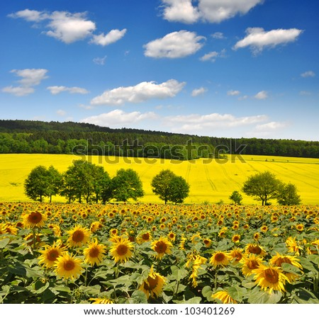 spring landscape with sunflower field - stock photo