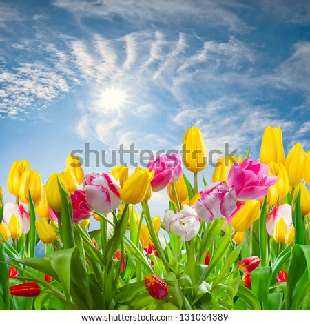 Spring landscape with tulip flowers and beautiful clouds and sun in the sky - stock photo