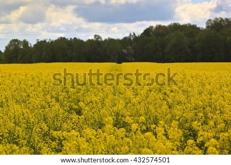 Spring landscape with yellow rape field