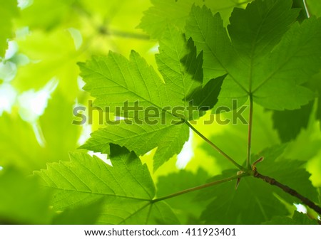 Spring leaf of maple. Composition of nature. - stock photo