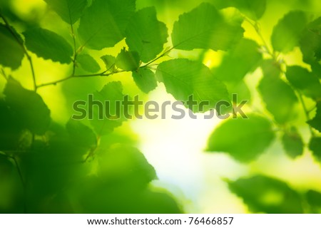 spring leaves in the morning light - stock photo