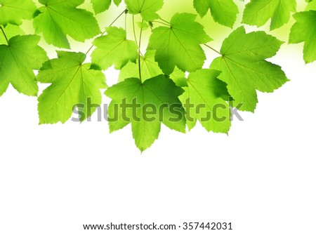 Spring leaves of maple tree isolated on white background - stock photo