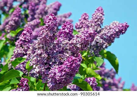 Spring. Lilac blossom on trees - stock photo