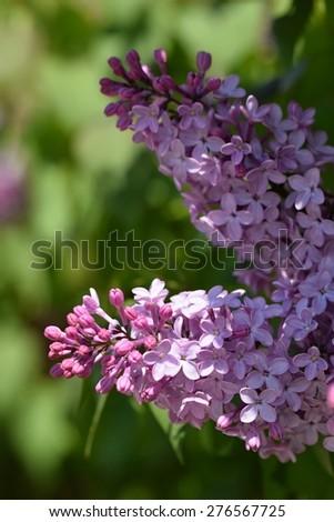 Spring lilac flowers  (Syringa) - stock photo