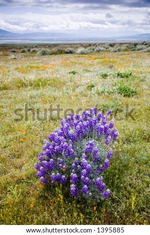 Spring lupine flowers on the meadow. - stock photo