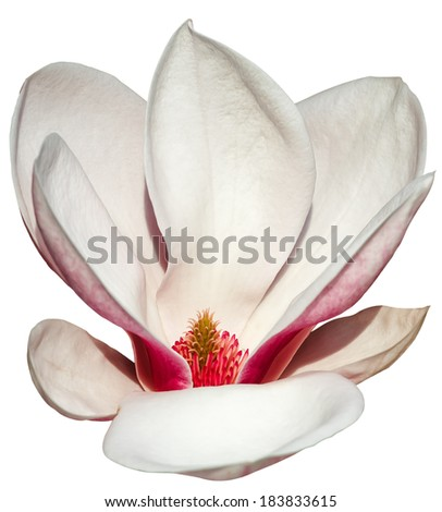 spring magnolia blossoms on white background