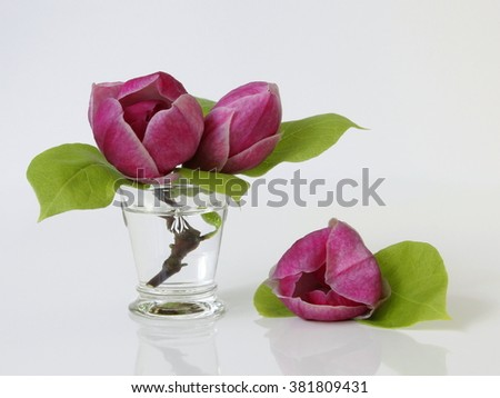 Spring magnolia flowers in a vase. Floral still life with magnolia blossoms in a vase. - stock photo