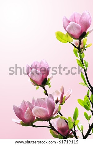 Spring magnolia tree blossoms on pink-white background - stock photo