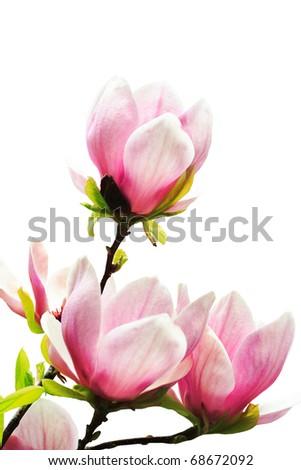 Spring magnolia tree blossoms on white background - stock photo