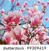 spring magnolia tree flowers - stock photo