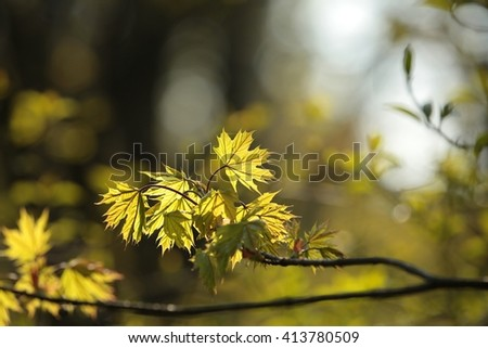 Spring maple leaf in the forest1. - stock photo