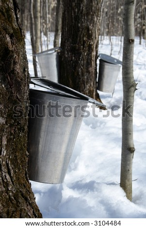 Spring, maple syrup season. Pails on trees collect sap of maple trees to produce maple syrup. - stock photo