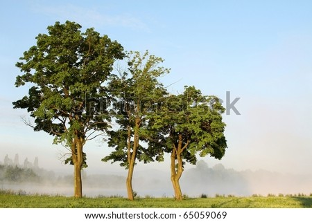 Spring maple trees surrounded by the morning mist against the blue sky. - stock photo