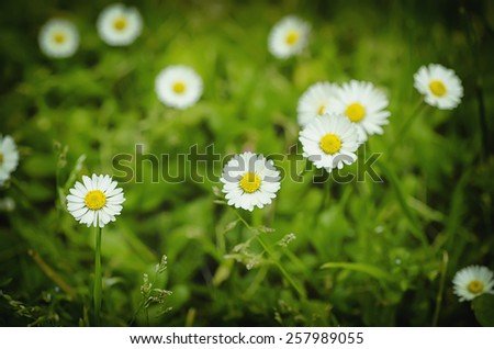 Spring marguerite daisy  flowers in green grass, natural background - stock photo