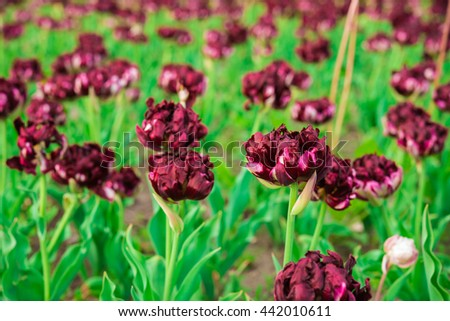 spring maroon color flowers dark red stock photo royalty free