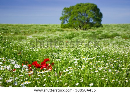 Spring meadow covered by red poppy flowers and white camomile flowers - spring wallpaper - stock photo