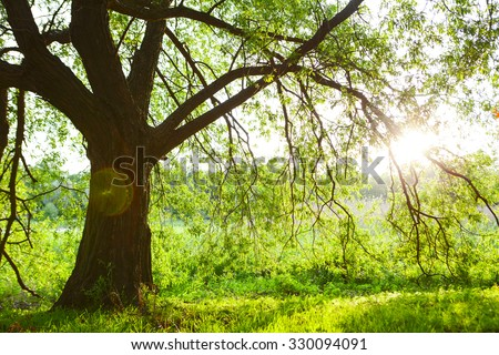 Spring meadow with big tree with fresh green leaves - stock photo