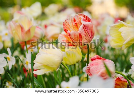 Spring meadow with red and white tulip flowers, floral seasonal background - stock photo