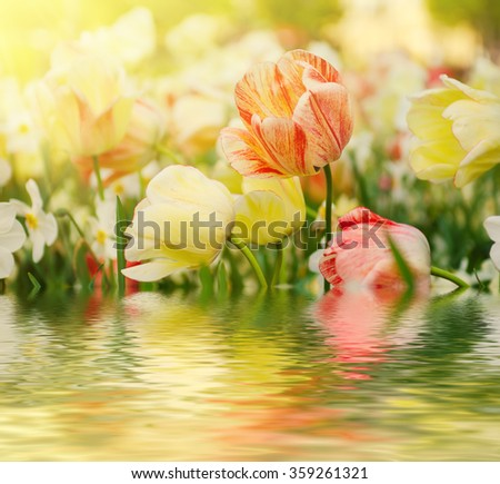 Spring meadow with red and white tulip flowers, floral sunny seasonal background with water reflection - stock photo
