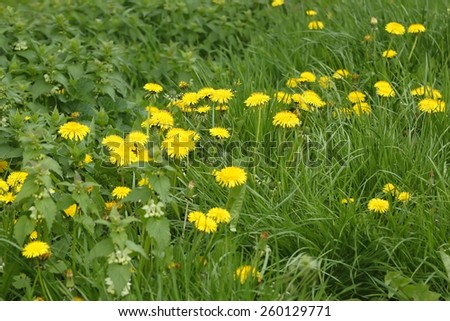 Spring meadow with yellow dandelions blooming plants - stock photo