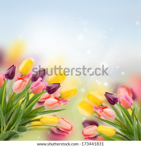spring multicolored tulips on blue bokeh   background - stock photo