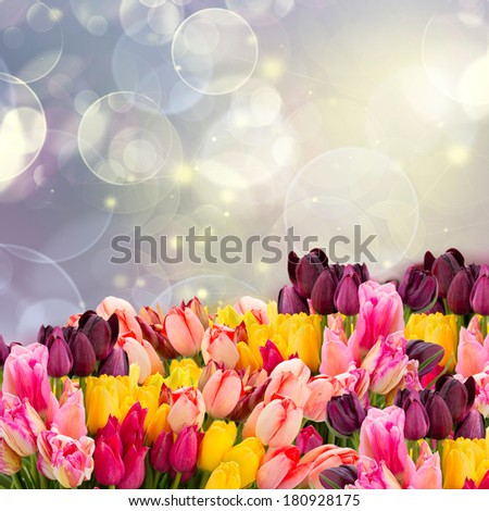 spring multicolored tulips on colorful blue bokeh   background with lights - stock photo