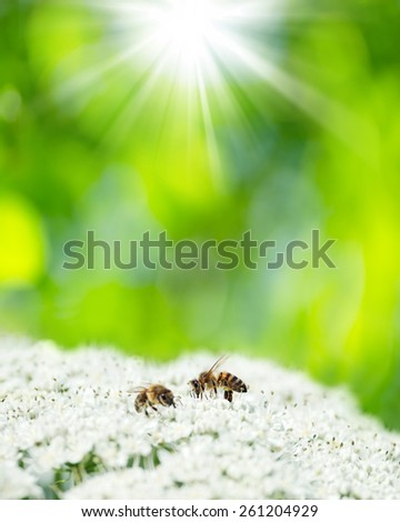 Spring natural background with two bees on a white flower. - stock photo