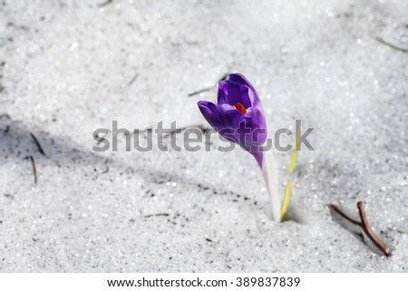 spring, nature, background blooming purple crocus flower in the snow - stock photo