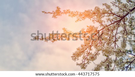 spring nature background. branch apple tree with  flowers over sky background. small depth of field. soft selective  focus.  used as background