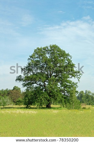 Spring oak tree in green meadow and blue sky - stock photo