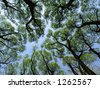 Spring  old willows - stock photo
