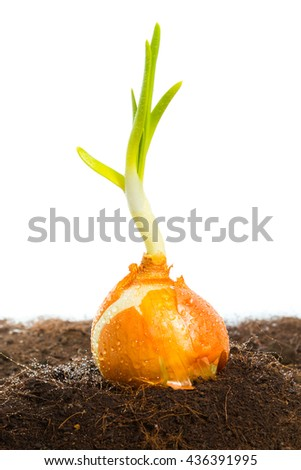 Spring onion vegetable growing on the garden and white background - stock photo