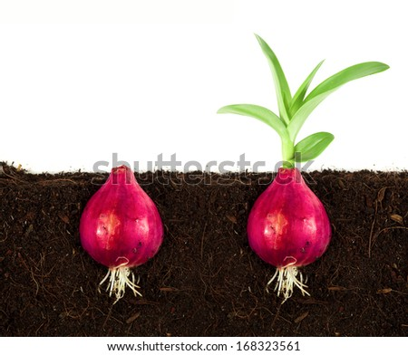 Spring onions in soil - stock photo