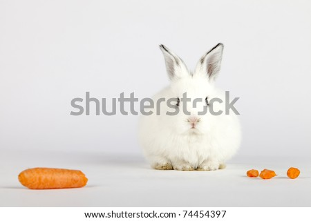 Spring or Easter concept image. Front view of one cute white bunny rabbit looking at camera and sitting near pieces of a carrot. High resolution image taken in studio with copy-space for your ad.