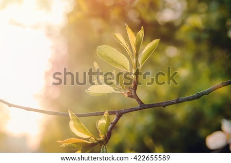 Spring or summer abstract nature background with green twig cherry blossoms tree, sunlight in the back. Eco season concept. - stock photo