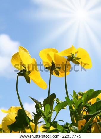 Spring pansies. - stock photo