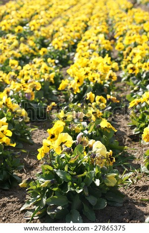 Spring pansies in the fields against blue sky - stock photo