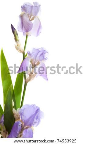 spring pastel Iris isolated on a white background. - stock photo