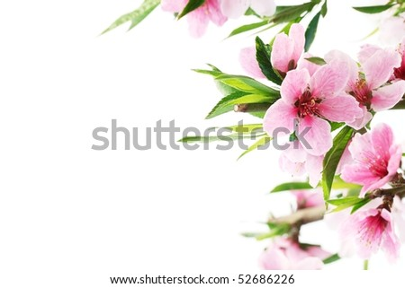 Spring peach blossom on white - stock photo