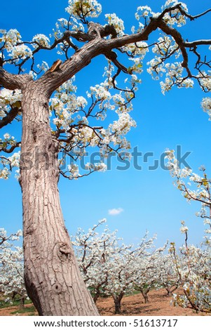Spring pear orchard in China - stock photo