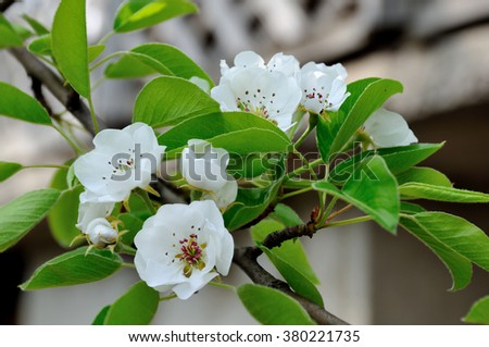 spring, pear, outdoor, closeup, tree, blooming, bud, natural, plum, floral, white, petal, flower, leaf, sunny, summer, blossom, bloom, sun, gardening, abstract, macro,  - stock photo
