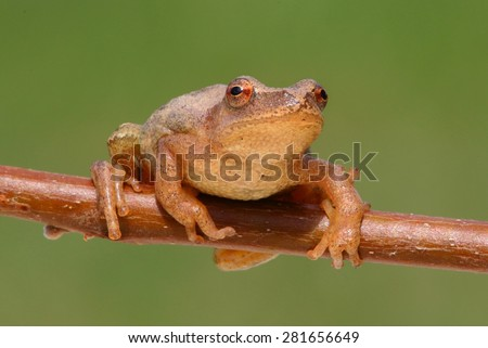 Spring Peeper (Pseudacris crucifer) on a branch with a green background - stock photo