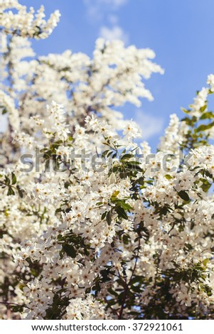 Spring Philadelphus tree with white flowers against blue sky. Shallow focus. Vintage retro toned