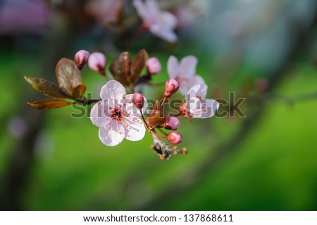 Spring photo of a cherry blossom - stock photo
