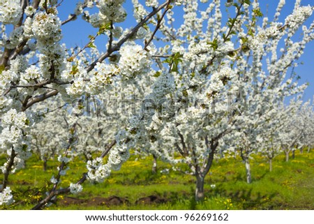 Spring photos of blossom chery garden - stock photo
