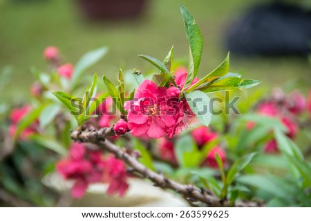 Spring pink cherry bloom - stock photo